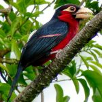 double toothed barbet