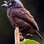 grey-throated barbet