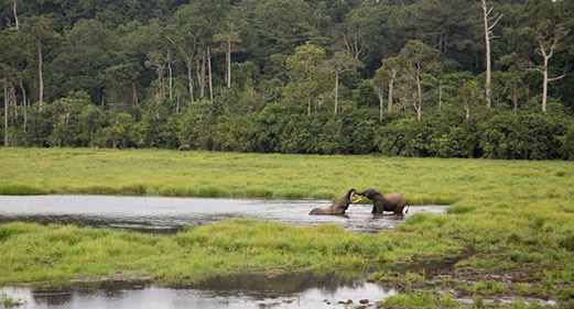 Forest elephants-Nouabale National Park