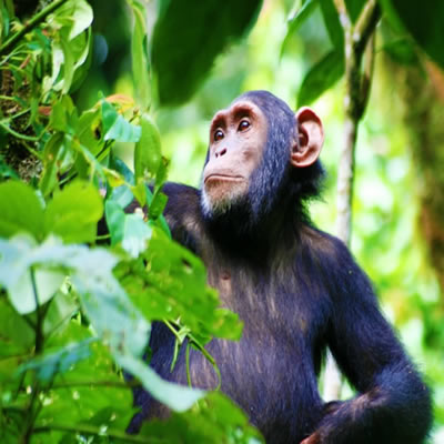 chimpanzee-habituation tours