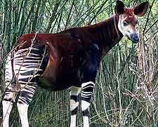 okapi-Maiko national park
